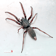 The White Tailed Spider