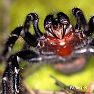 The Funnel Web Spider