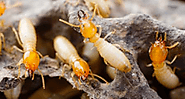 Termite Inspections, Treatment And Removal Services in Brisbane