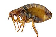 Get The Best Flea Removal Service In Gold Coast