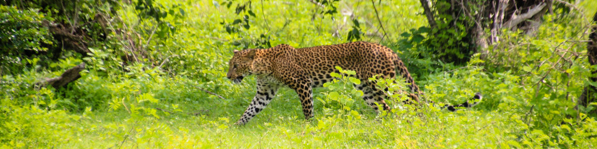 Headline for Things to do in Yala National Park Sri Lanka- The green island gem