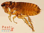 Pest control in india organization to get rid fleas from your home