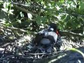 Chatham Island Oyster catcher on nest