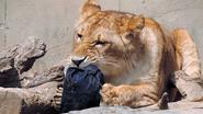 Japan Is Selling Zoo Jeans, Fashionably Ripped by Lions, Tigers and Bears