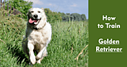 How to Train Your Golden Retriever Dog? - PetsUpdate
