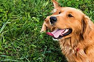How To Stop Golden Retriever Barking - PetsUpdate