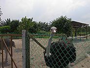 Visit the largest ostrich farm in Malaysia