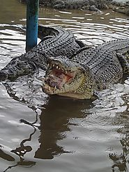 Visit the TelukSengat Crocodile Farm
