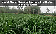 How Hybrid Napier Grass Improves Smallholder Milk Production