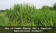 Why Cumbu Napier Grass CO5 is a World Class Agricultural Product?