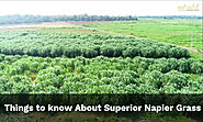 Here's What You Need to Know about Superior Napier Grass