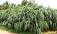 Popular Methods of Planting Napier Grass