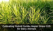 Cultivating Hybrid Cumbu Napier Grass CO5 for Camel and Cattle Feed