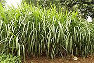 Interesting facts to know about Napier or Elephant grass