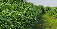 How To Grow Napier Grass Using Seeds And What Are The Advantages? - Scoop Article