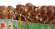 62 cows dead after consuming poisonous feed in Bikaner | Jaipur News - Times of India