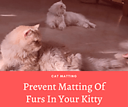 Prevent Matting Of Furs In Your Kitty - Cat Matting