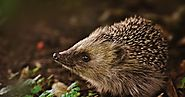 How long do hedgehogs live? Hedgehogs cute facts | Pets World Today