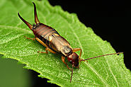 Earwig Facts, Control And How To Get Rid Of Earwigs - Get Note IT