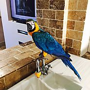 Buy Blue and Gold Macaw - Exortic Pet Shop