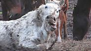 South American Horsemeat from Torturous Production