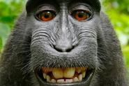 No, Wikipedia Doesn't Think A Monkey Owns The Copyright On This Selfie