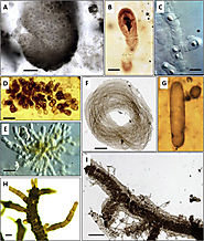 Cyanobacteria evolution: Insight from the fossil record