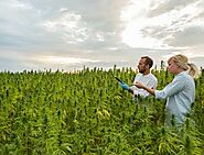 Cannabis Farmers - CHES Financial Services