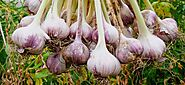 Techniques to Growing Flavorful Garlic | Business Insider Today