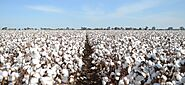 Top Cotton Producing Countries In The World | Business Insider Today