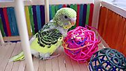 Budgie Playground and why is it Important? | Alen AxP Budgie Community