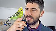 Budgie Guide of The Most asked questions | Alen AxP Budgie Community