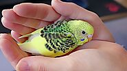 Budgie Babies and why you shouldn't breed | Alen AxP Budgie Community